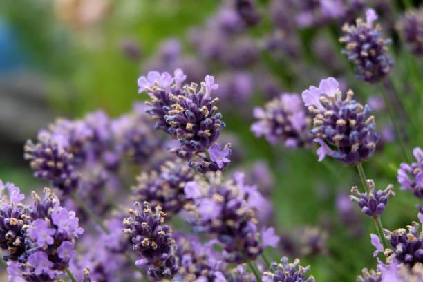 Lavendel – Foto