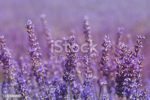 Beautiful and dreamlike purple lavender flowers landscape in springtime