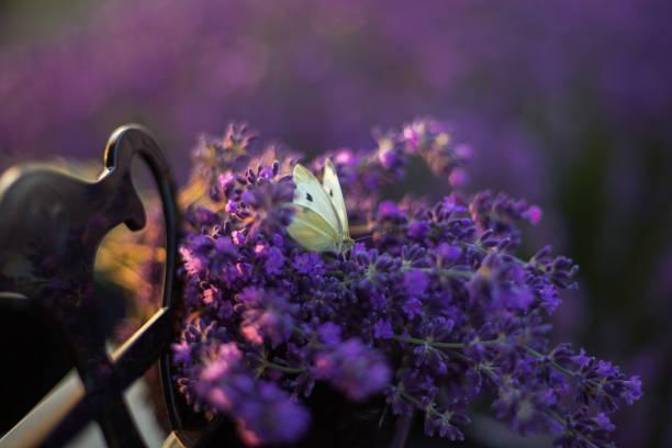 Lavender picture id1161745499?b=1&k=6&m=1161745499&s=612x612&w=0&h=lkrnp3e7glhr uc62ez49cdl j7q8qwx7dgtlmzbaq4=