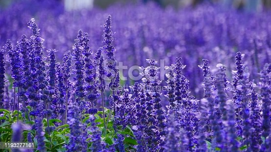 Lavender field in spring season
