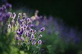 istock Lavender 1255557046