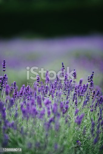 istock Lavender 1255558013