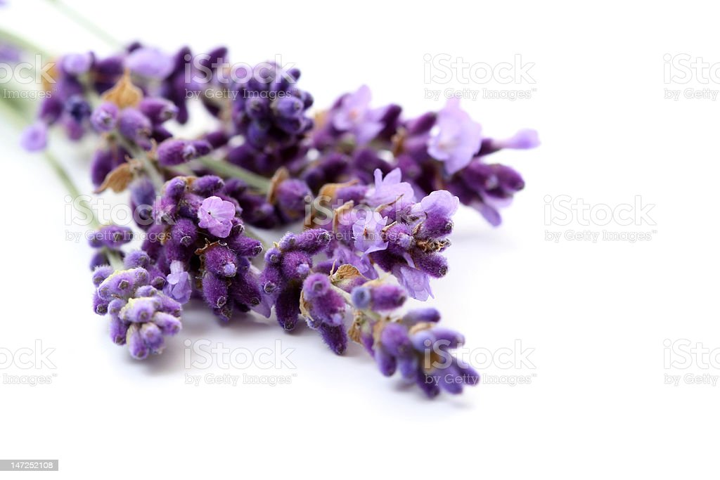 lavender royalty-free stock photo
