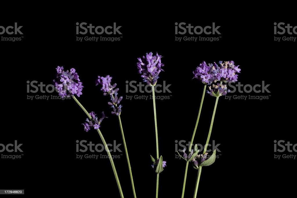 - Lavendel – Foto