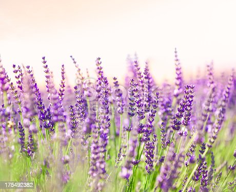 Lavender flowers in the dusk.See also: