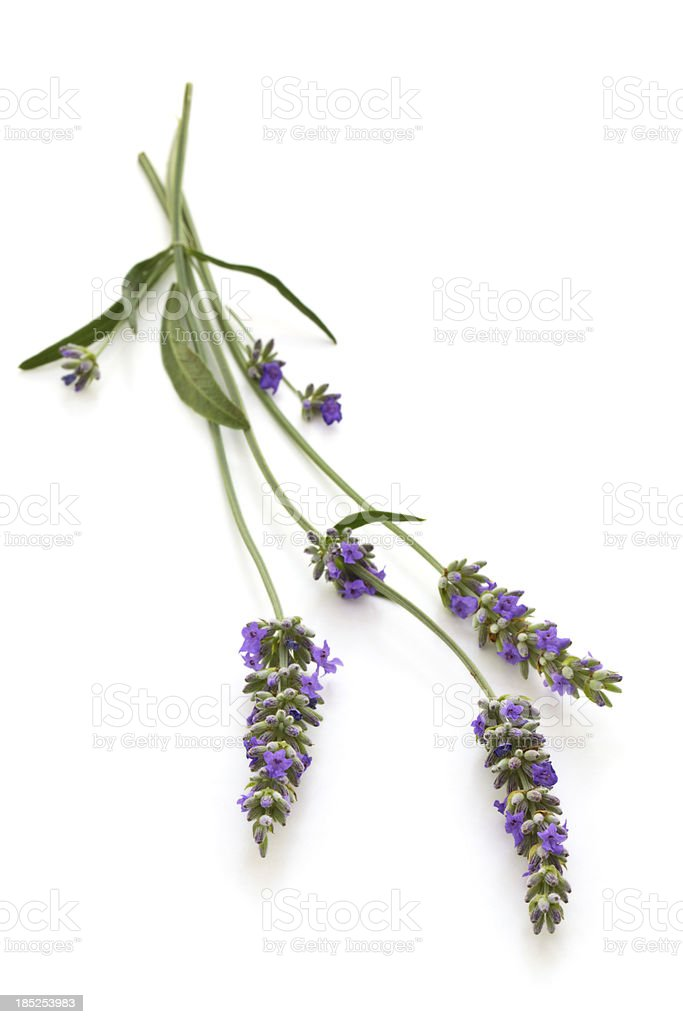 Lavender. royalty-free stock photo