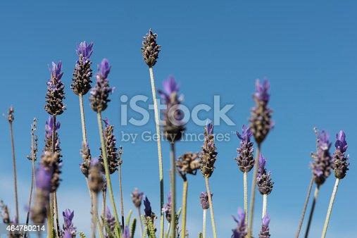 Lavender spikes over blue sky
