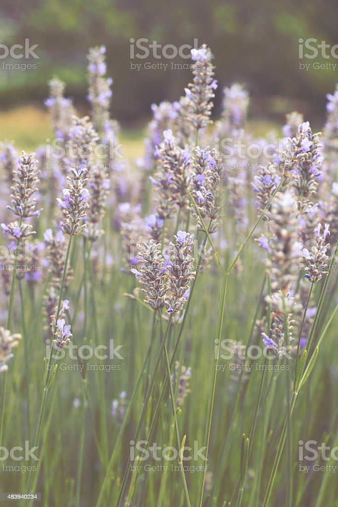 Lavender - Royalty-free 2015 Stock Photo