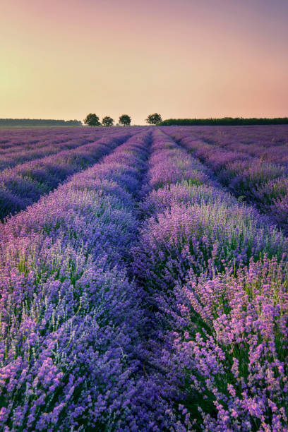Lavender Lavender provence alpes cote d'azur stock pictures, royalty-free photos & images