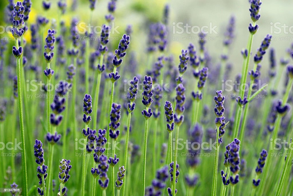 Lavender (1 Dollar Image) royalty-free stock photo