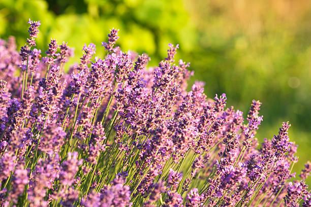 lavender plant at sunset stock photo