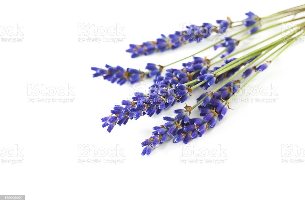 Lavender plant, fresh aromatic flower, isolated on white royalty-free stock photo