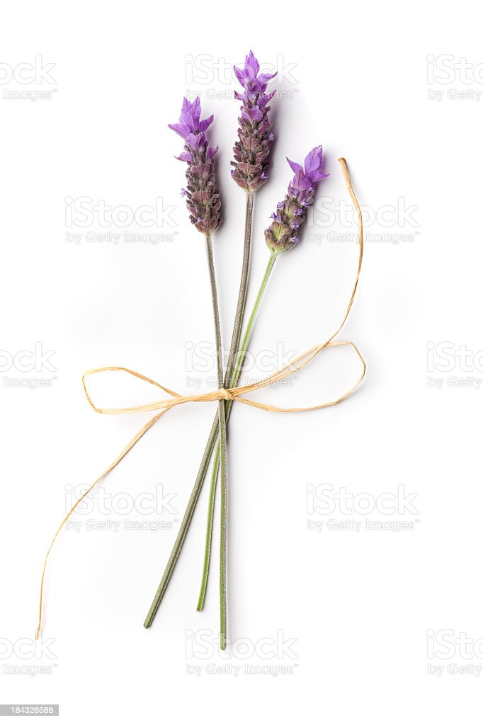 Lavender Plant stock photo