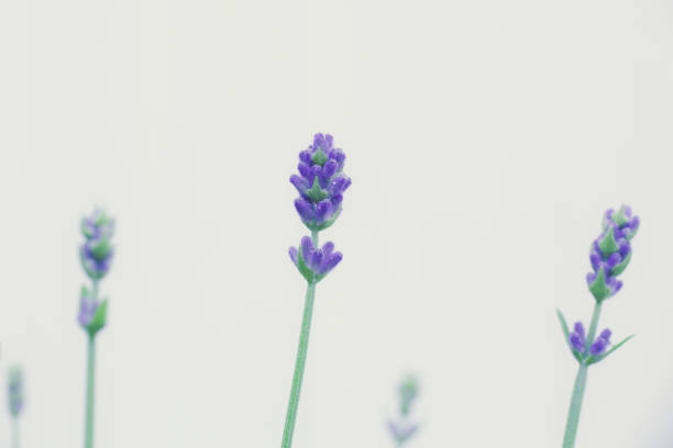 Lavender Plant Ready to Blossom stock photo