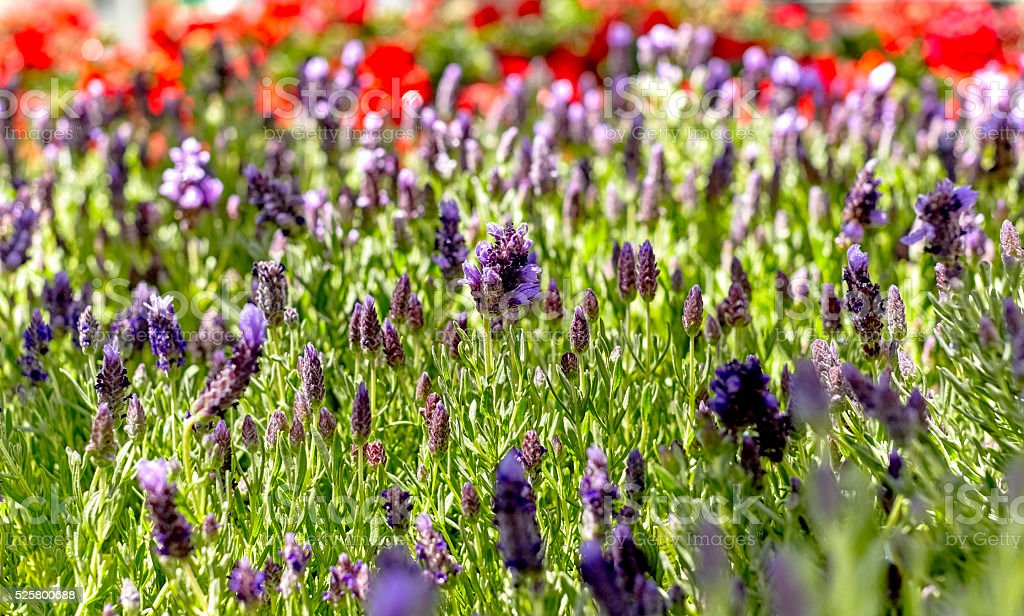 Lavender Plants in a Garden stock photo