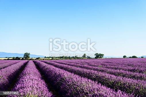 Lavender fields near Valensole, Provence, France