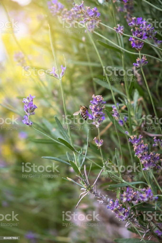 Lavender purple flowers with bees gathering the nectar stock photo