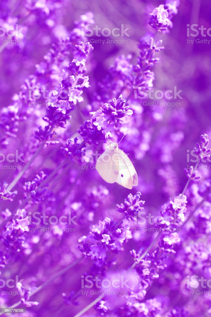 Lavender - purple toned royalty-free stock photo