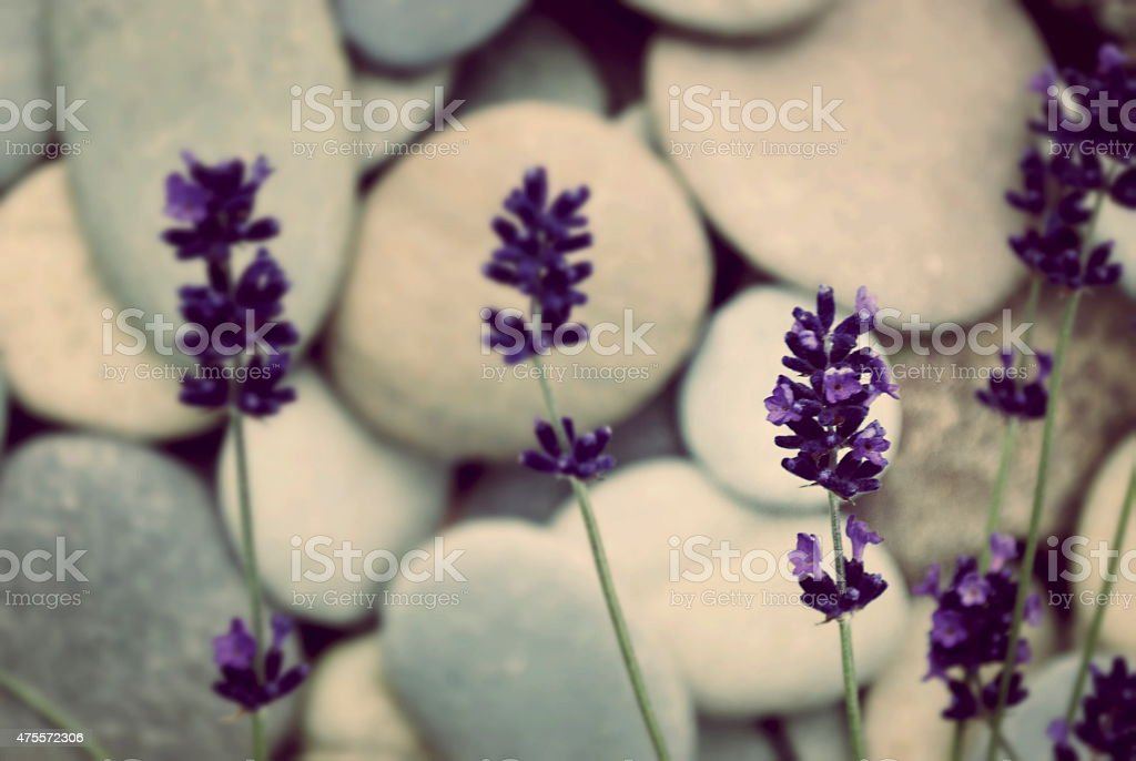 Lavender & River Pebble Background stock photo