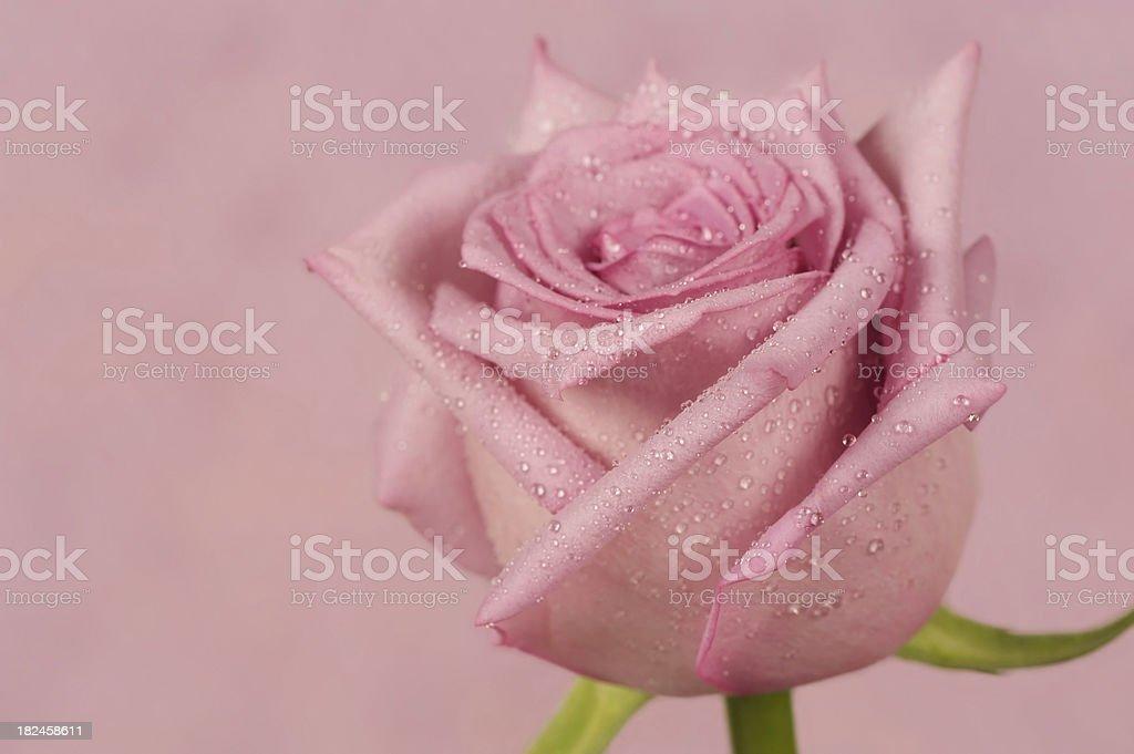 Lavender Rose royalty-free stock photo