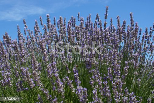 Subject: Lavender against a clear blue sky