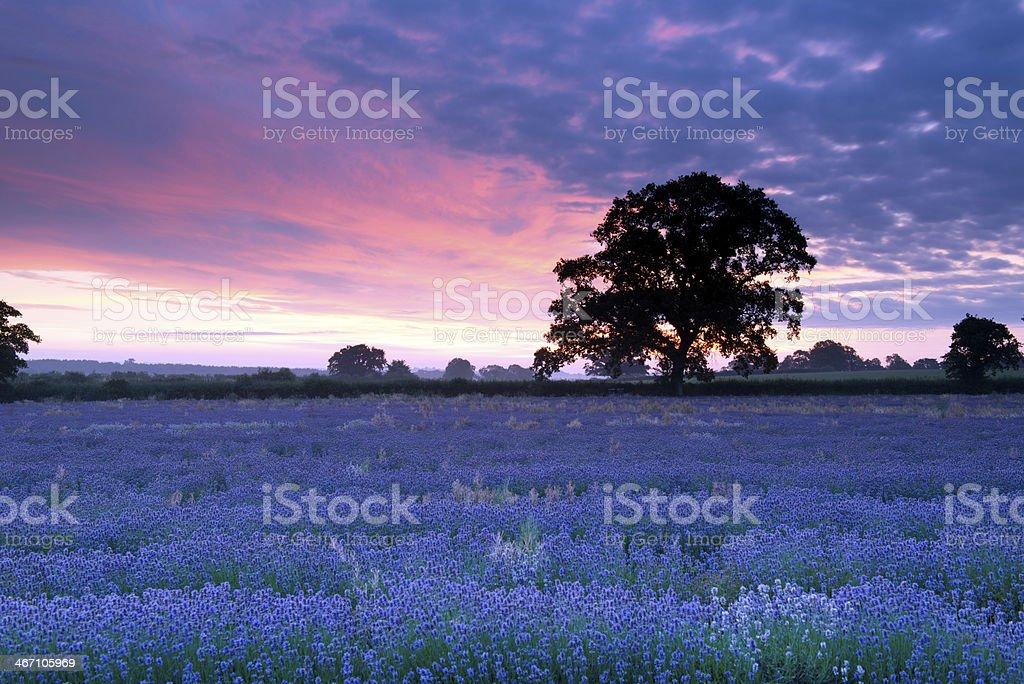 lavender sky stock photo