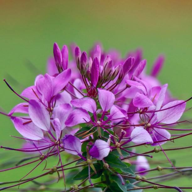 Lavender Spider Flower, Cleome stock photo