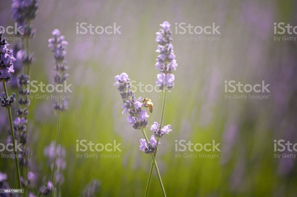Lavender stems bathing in sunrays royalty-free stock photo