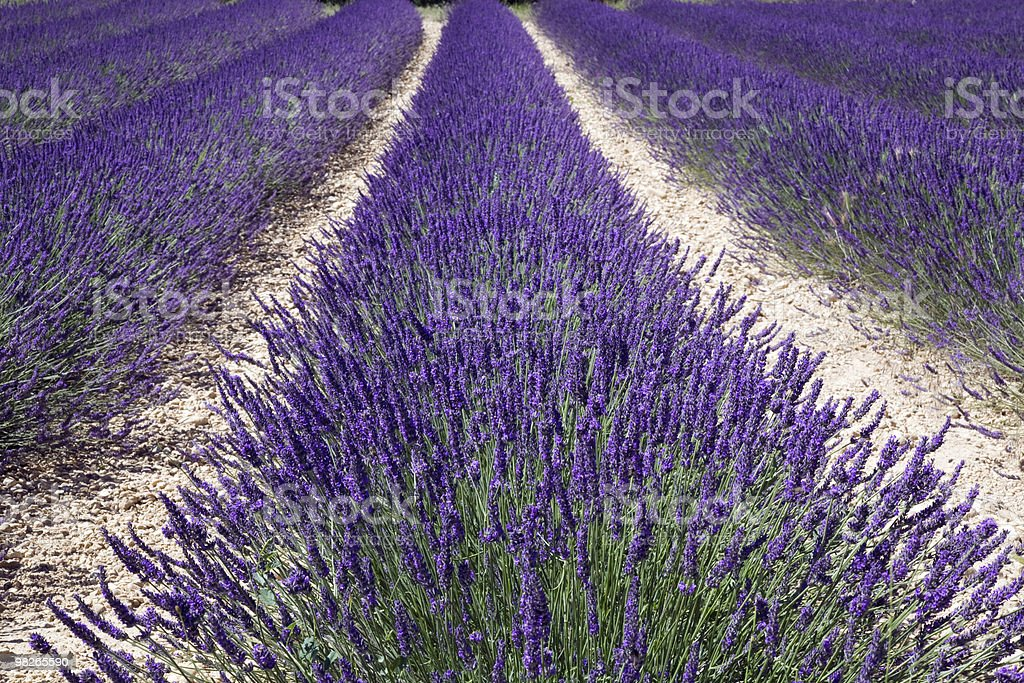 Lavender strip royalty-free stock photo