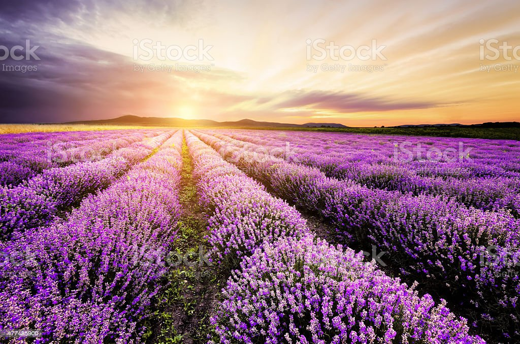 Lavender Sunrise stock photo