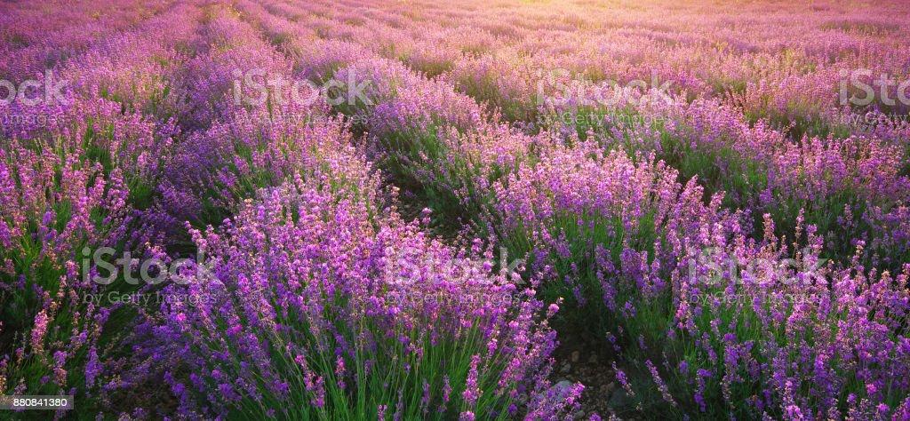 Lavendel Struktur. – Foto