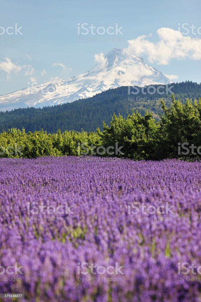Lavender Valley Hood River Oregon. stock photo