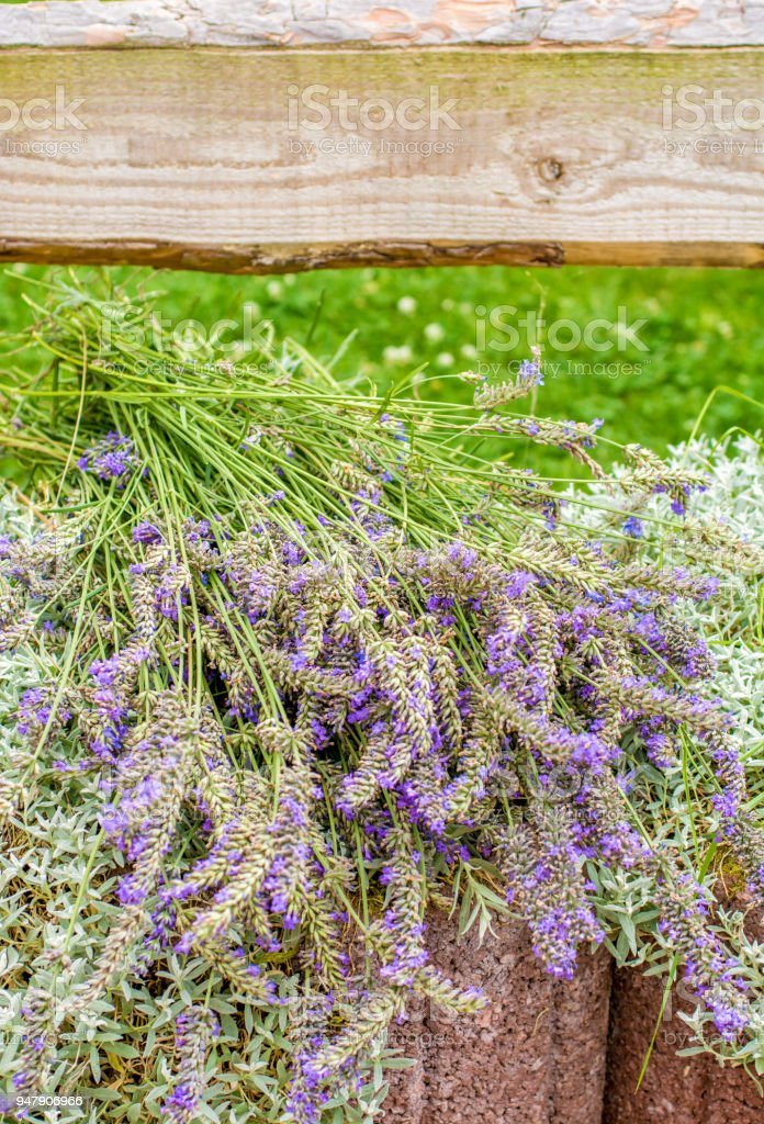 Lavender was harvested stock photo