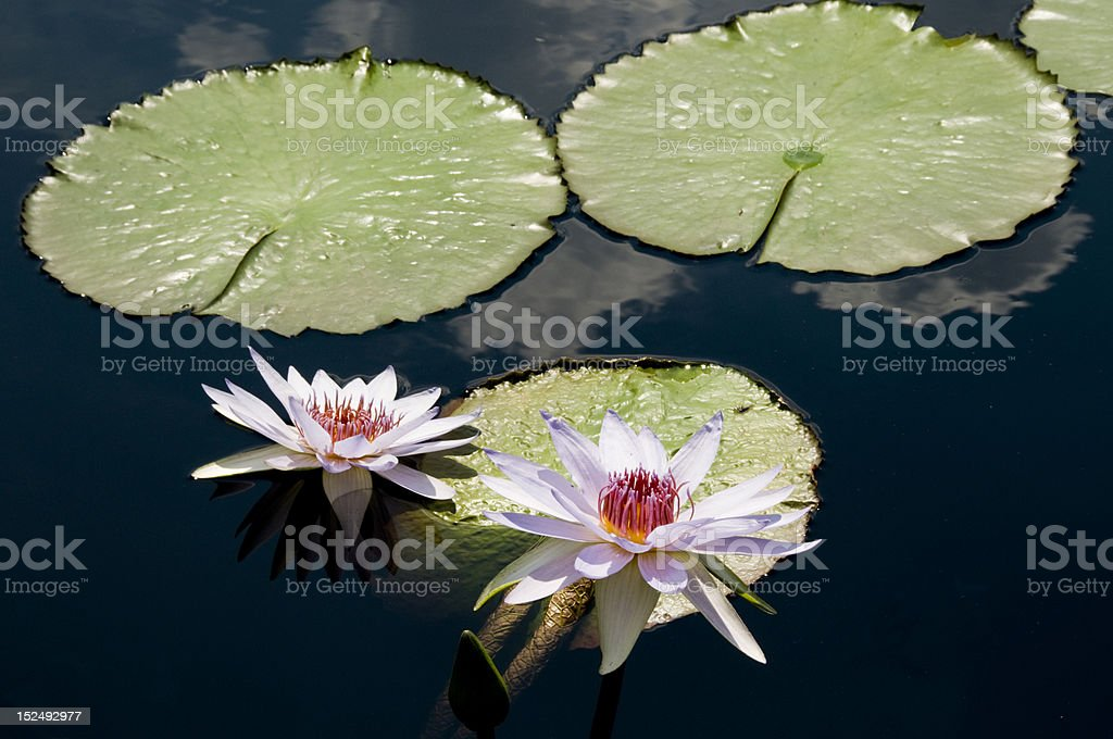 Lavender Water Lily and Pads stock photo