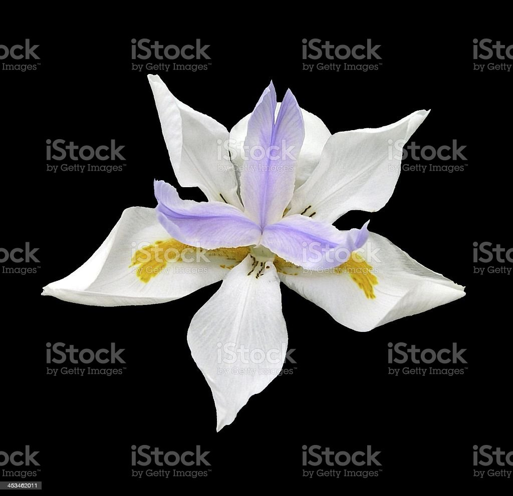 Lavender White Iris Flower Isolated on Black stock photo