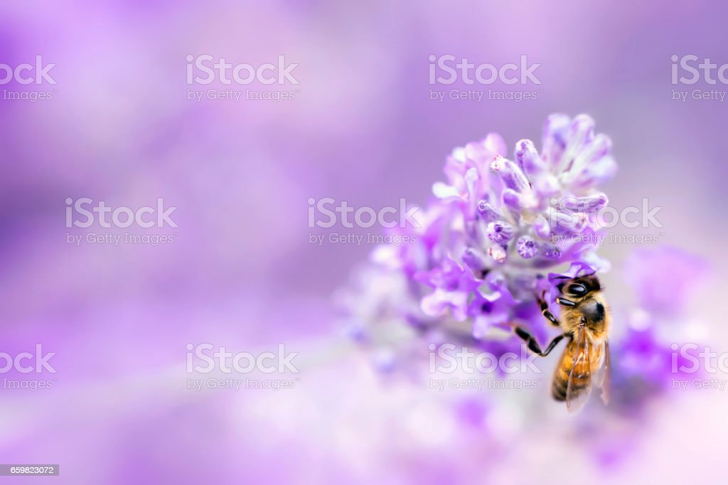 Lavender with Bee Soft Focus stock photo