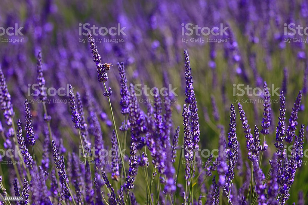 lavender with bees royalty-free stock photo