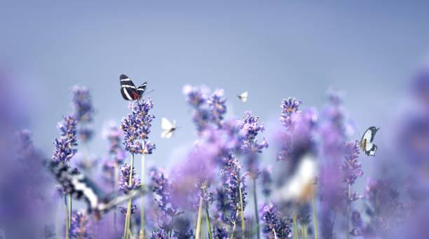 Lavender with butterflies picture id1205668051?b=1&k=6&m=1205668051&s=612x612&w=0&h= g6h7cuvroojciv jlrajdslcbp16cldrc  ttn0aa0=