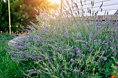 Lavender Flowers placed near of wall at a residential home garden