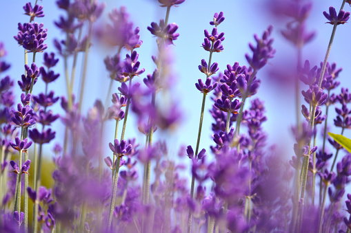 istock Lavenders flowers. Ontario, Canada, Prince Edward Country. 821751490