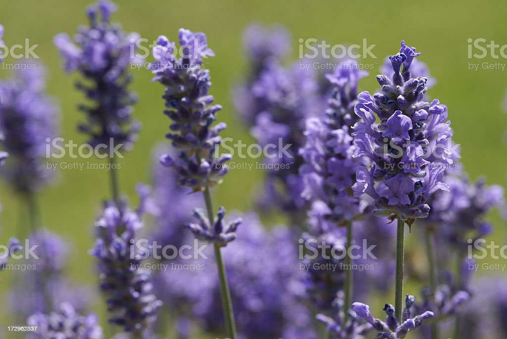 Lavenders in the counter-light royalty-free stock photo