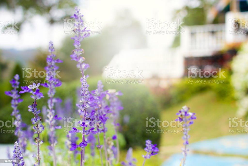 Lavenders - Foto de stock de Aire libre libre de derechos
