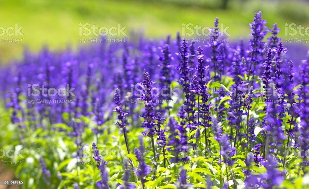 lavenders salvia purple flowers ornamental - Royalty-free Agricultural Field Stock Photo