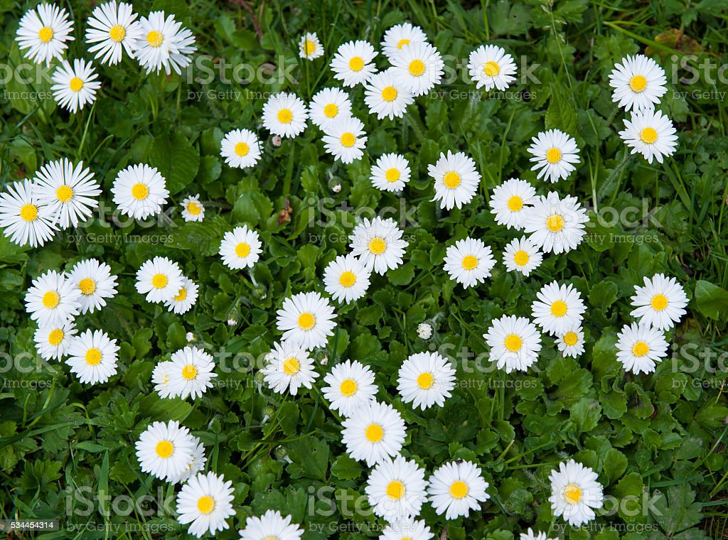 Lawn daisy stock photo