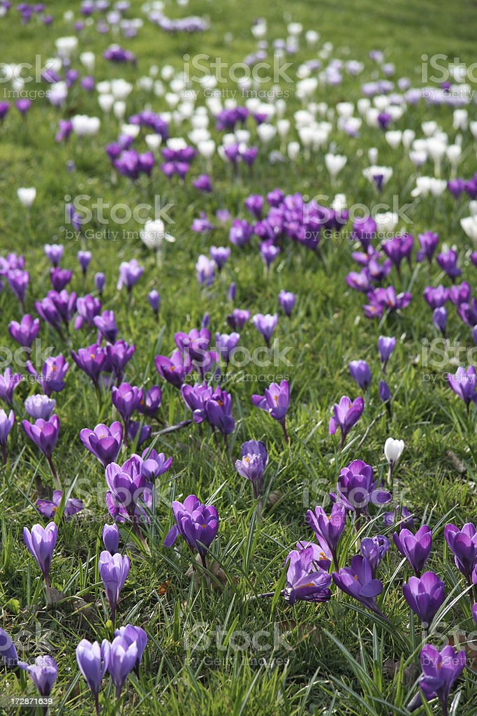 Lawn full of purple and white crocus in spring royalty-free stock photo