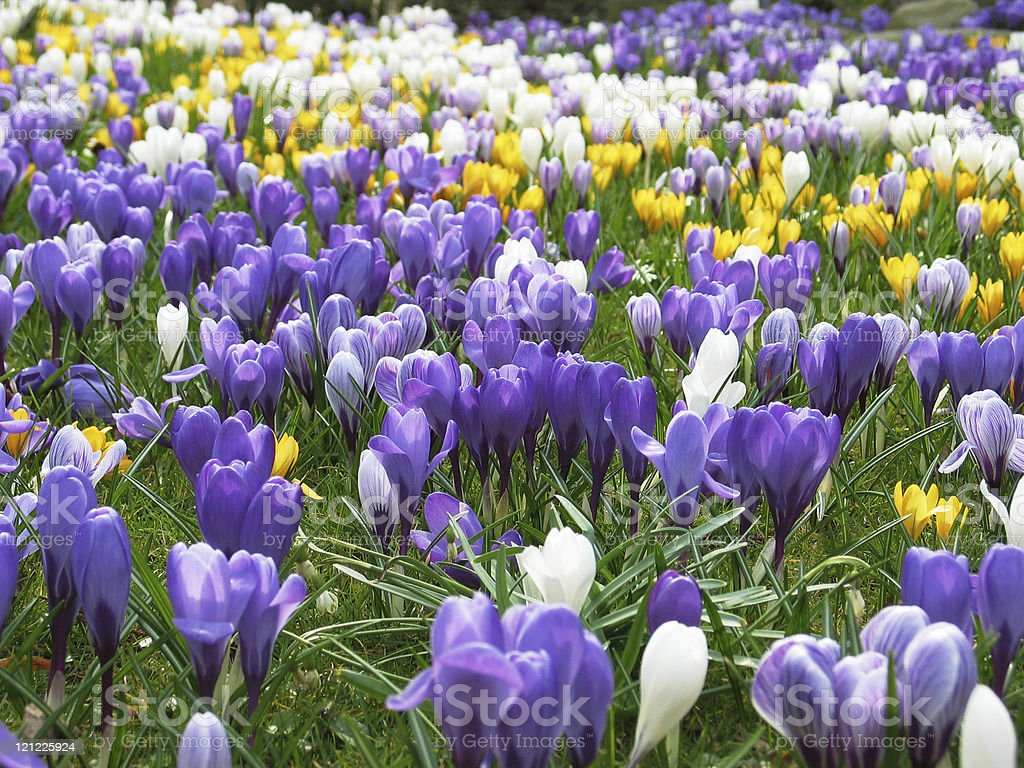 Lawn full of purple, white and yellow crocus in spring royalty-free stock photo