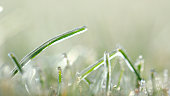 Lawn grass in ice, macro photo. Cooling concept. background