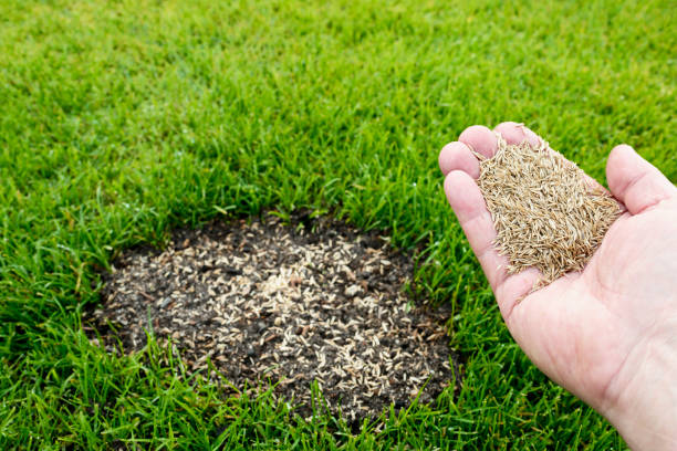Lawn repair Grass seeds in the hand casting stock pictures, royalty-free photos & images