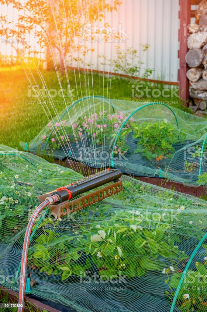 Lawn sprinkler spaying water over green grass royalty-free stock photo