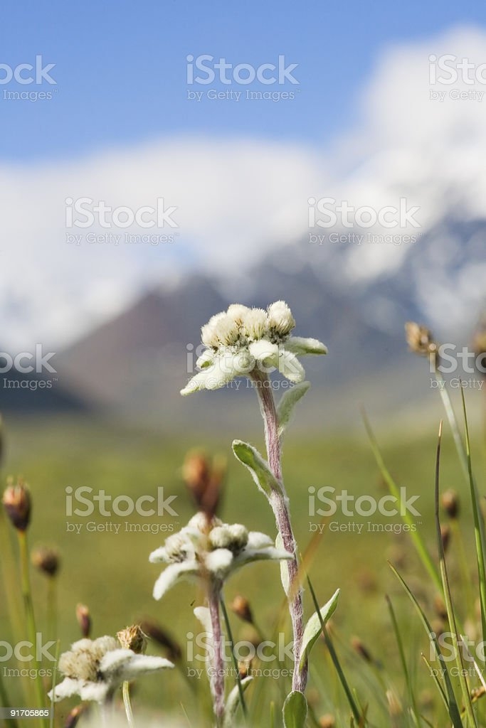 Lawn which are growing Edelweiss stock photo